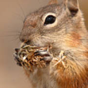Golden-mantled Ground Squirrel Nibbling On A Bite Poster