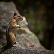 Golden Mantled Ground Squirrel Rocky Mountains Colorado Poster