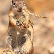Golden-mantled Ground Squirrel With A Prickly Bite Poster