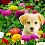 Golden Puppy In The Zinnias Poster