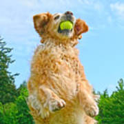 Golden Retriever Catch The Ball  Poster