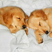 Golden Retriever Dog Puppies Sleeping Poster by Jennie Marie Schell