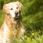golden Retriever in garden Poster
