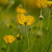 Golden Summer Buttercup 3 Poster