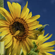 Golden Sunflower Poster