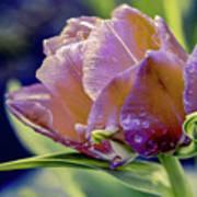 Golden Sunset Tulip Poster
