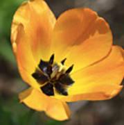 Golden Tulip Petals Poster