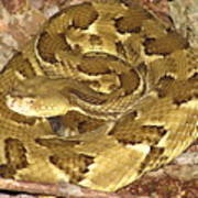 Golden Viper Poster