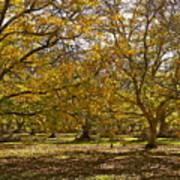 Golden Walnut Orchard II Poster