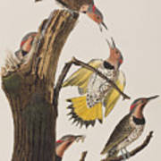 Golden-winged Woodpecker Poster