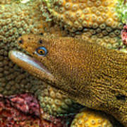 Goldentail Moray Poster