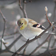 Goldfinch In Winter Poster