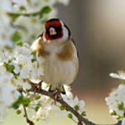 Goldfinch Spring Blossom Poster
