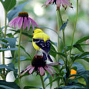 Goldfinch Visiting Coneflower Poster