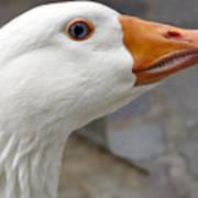 Goose Close Up Poster