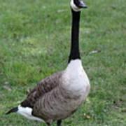Goose Portrait Poster