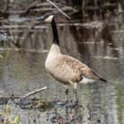Goose Posing Poster