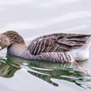 Goose Swimming Poster