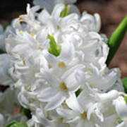 Goregeous White Flowering Hyacinth Blossom Poster