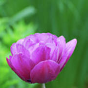 Gorgeous Blooming And Flowering Dark Pink Parrot Tulip Poster