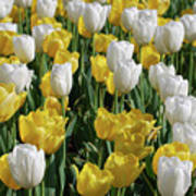 Gorgeous Blooming Field Of White And Yellow Tulips Poster