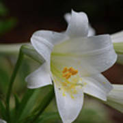 Gorgeous Blooming White Lily With Yellow Pollen On It's Stamen Poster
