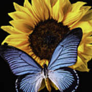 Gorgeous Blue Butterfly Poster