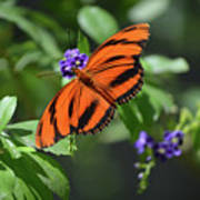 Gorgeous Close Up Of An Oak Tiger Butterfly In Nature Poster