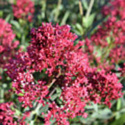 Gorgeous Cluster Of Red Phlox Flowers In A Garden Poster