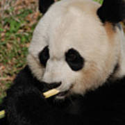 Gorgeous Face Of A Giant Panda Bear With Bamboo Poster