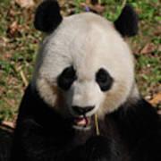 Gorgeous Face Of A Panda Bear Eating Bamboo Poster