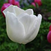 Gorgeous Flowering White Tulip Flower Blossom Poster