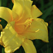 Gorgeous Flowering Yellow Daylily Blooming In A Garden Poster