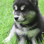 Gorgeous Fluffy Black And White Husky Puppy In Grass Poster