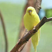 Gorgeous Little Yellow Parakeet Living In The Wild Poster