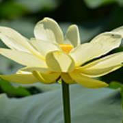 Gorgeous Lotus Flower Poster