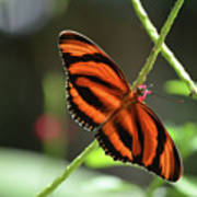 Gorgeous Orange And Black Oak Tiger Butterfly Poster