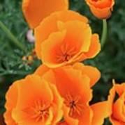 Gorgeous Orange California Poppies Poster