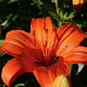Gorgeous Pretty Orange Lily Flower Blooming In A Garden Poster