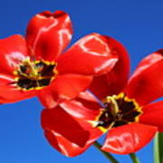 Gorgeous Red Tulips. Poster