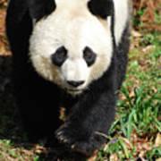 Gorgeous Sweet Giant Panda Bear Ambling Along Poster