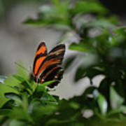 Gorgeous View Of An Oak Tiger Butterfly In The Spring Poster