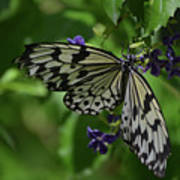Gorgeous White Tree Nymph Butterfly With It's Wings Spread Poster