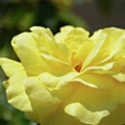Gorgeous Yellow Rose Poster