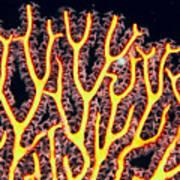Gorgonian Coral Fan Poster