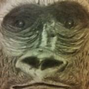 Gorilla In The Zoo Poster