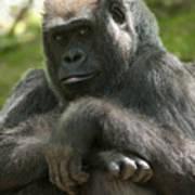Gorilla1 Poster