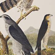 Goshawk And Stanley Hawk Poster