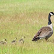 Goslings Following Mama Poster