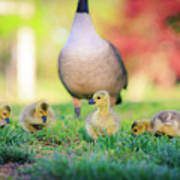 Goslings In The Park Poster